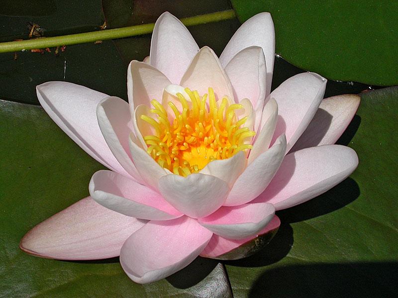 Лотос картинки цветка